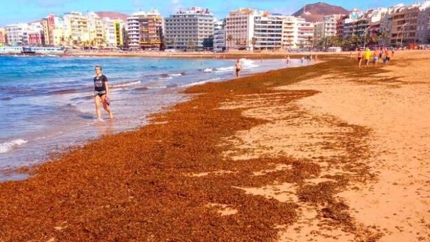 Ciudad De Mar Retira 70 Toneladas De Algas Pardas De Las Canteras Canarias7