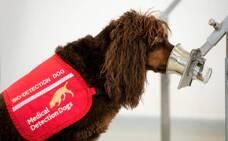 Perros entrenados para olfatear la Covid-19