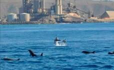 Delfines frente a la cementera en el sur