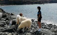 Lleva a sus ovejas a la zona del Lloret