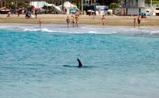 Sonidos de orcas para alejar a un delfín de la costa
