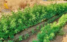 Detenido por camuflar centenares de plantas de marihuana en su huerto