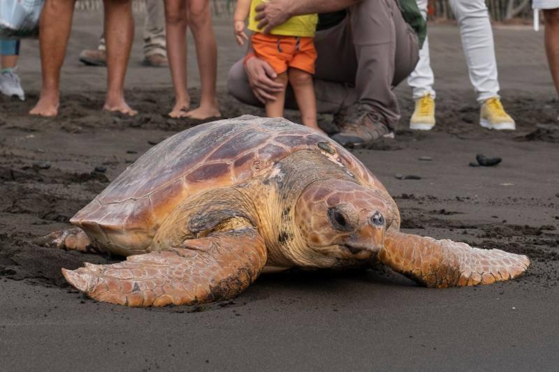 Devuelven al mar la tortuga de 40 kilos que varó herida en Jinámar