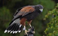Insólita búsqueda de un águila de Harris, perdida en Gran Canaria