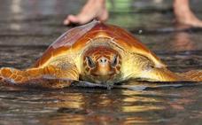 Devuelven al mar a tres tortugas bobas tras su recuperación