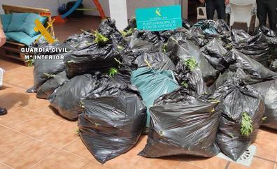 Hallan más de 1.000 plantas de marihuana en el norte de Tenerife