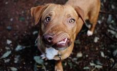 Picasso, el perro abandonado por su cara desfigurada que triunfa en las redes
