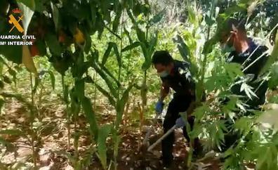 Desmantelan un cultivo de 320 plantas de marihuana en San Mateo