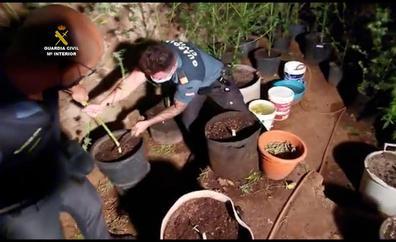 Desmantelan dos plantaciones de marihuana en Arucas y San Mateo