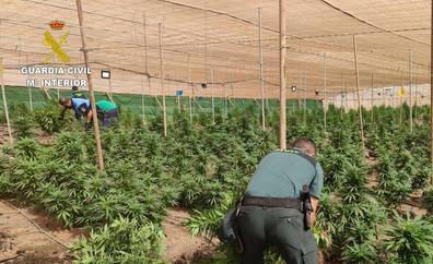 Desmantelan un invernadero en La Aldea con 1.500 plantas de marihuana