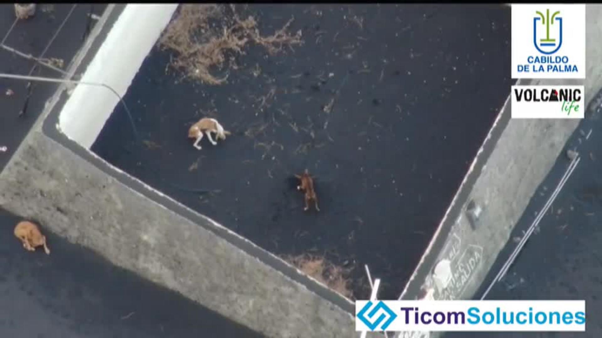 Ya está en La Palma la empresa que se ofrece para rescatar a los perros atrapados