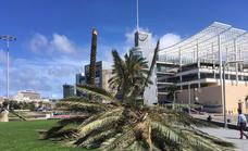 Tres de cada diez palmeras perdidas en 2021 se caen y otras siete son taladas para evitar su desplome